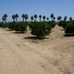 Working citrus groves